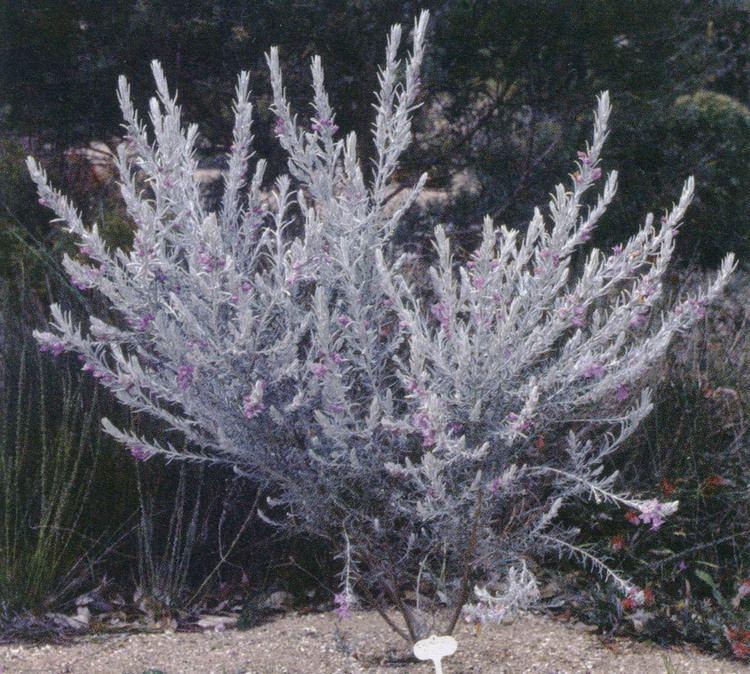 Eremophila nivea Pacific Horticulture Society Pacific Plant Promotions Eremophila