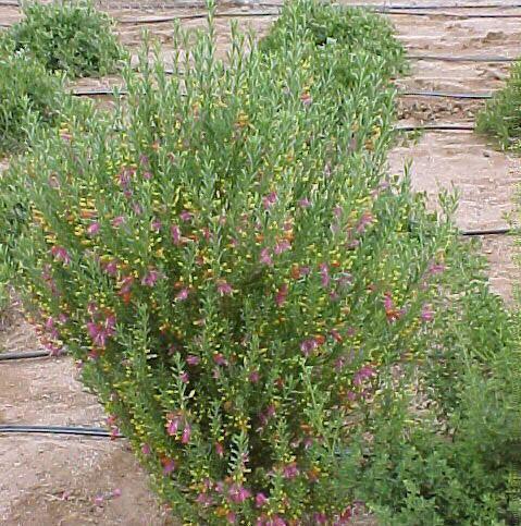 Eremophila racemosa Eremophila racemosa bicolor