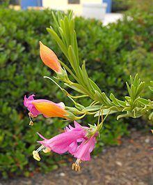 Eremophila racemosa httpsuploadwikimediaorgwikipediacommonsthu