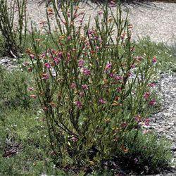 Eremophila racemosa Eremophila racemosa Growing Native Plants