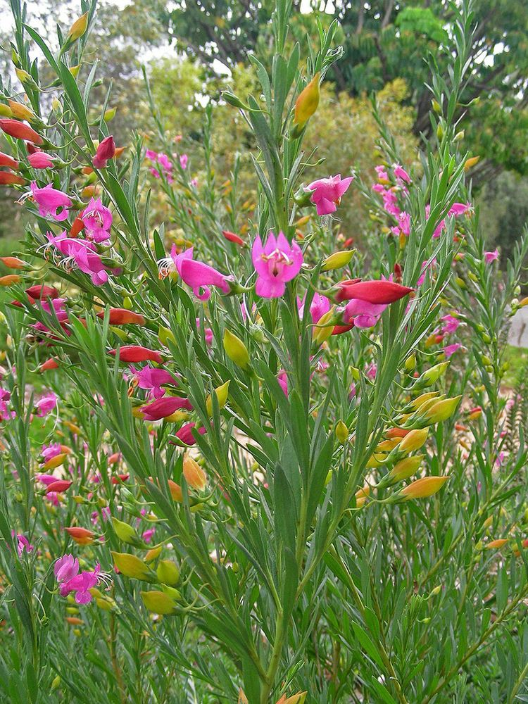 Eremophila racemosa Eremophila racemosa 39Bicolor39 Photographer Russell Dahms Flickr