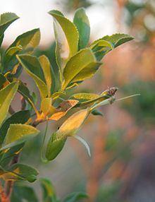 Eremophila serrulata httpsuploadwikimediaorgwikipediacommonsthu