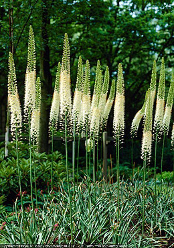 Eremurus robustus eremurus robustus plantenavn botanisk navn eremurus robustus norsk