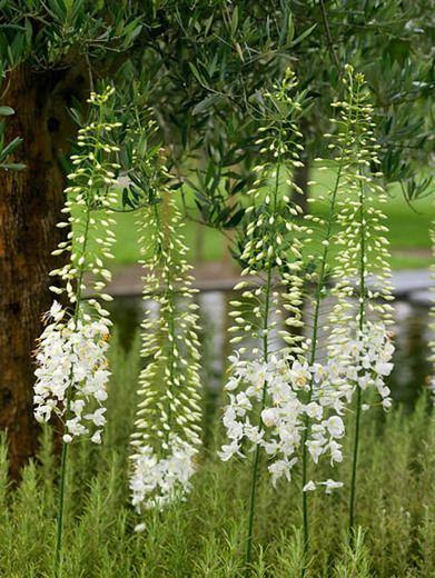 Eremurus robustus Eremurus robustus Foxtail Lily
