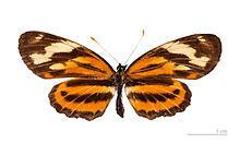 Eresia (butterfly) httpsuploadwikimediaorgwikipediacommonsthu