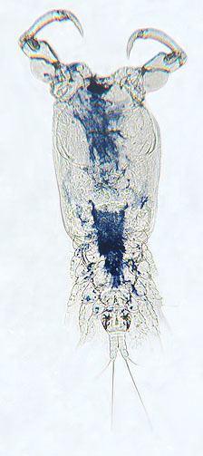 Ergasilus Parasite Detail Ergasilus caeruleus Wilson CB 1911