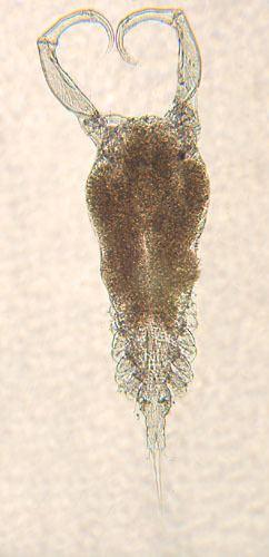 Ergasilus Parasite Detail Ergasilus arthrosis Roberts 1969