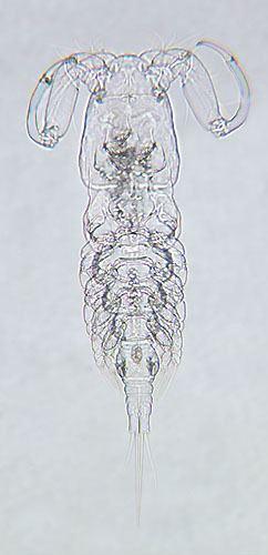 Ergasilus Parasite Detail Ergasilus versicolor Wilson CD 1911a