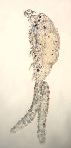 Ergasilus Parasite Detail Ergasilus celestis Mueller JF 1937