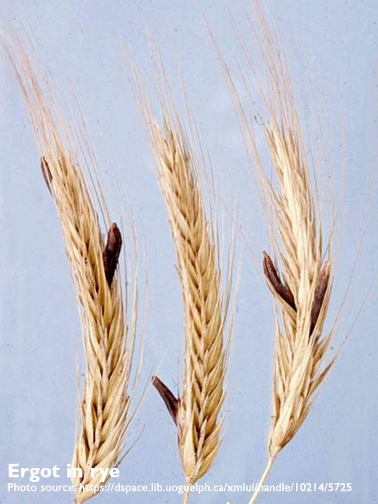 Ergot Ergot spotted in Western Canada keep an eye out BeefResearchca