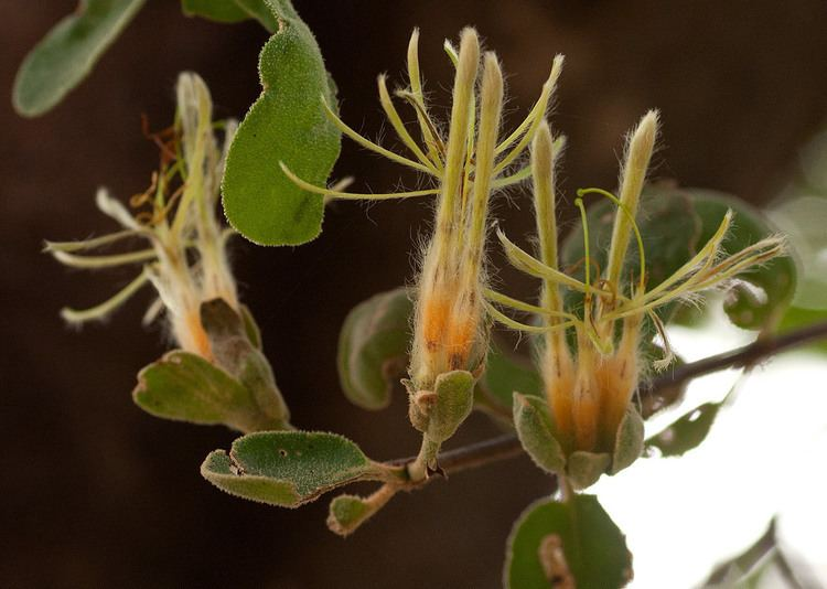 Erianthemum dregei Flora of Zimbabwe Species information individual images