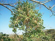 Erianthemum dregei httpsuploadwikimediaorgwikipediacommonsthu