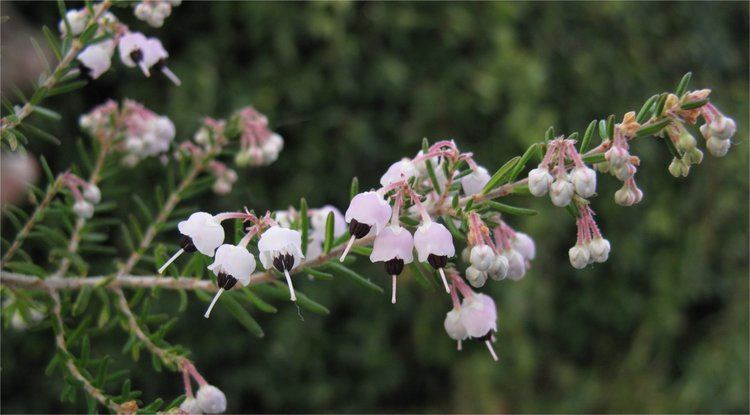 Erica canaliculata Erica canaliculata Rain Garden Arts