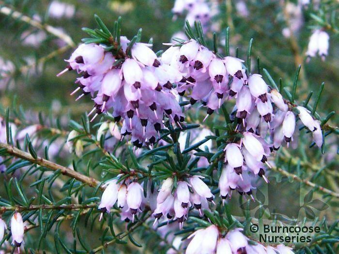 Erica canaliculata Heathers Erica Canaliculata from Burncoose Nurseries