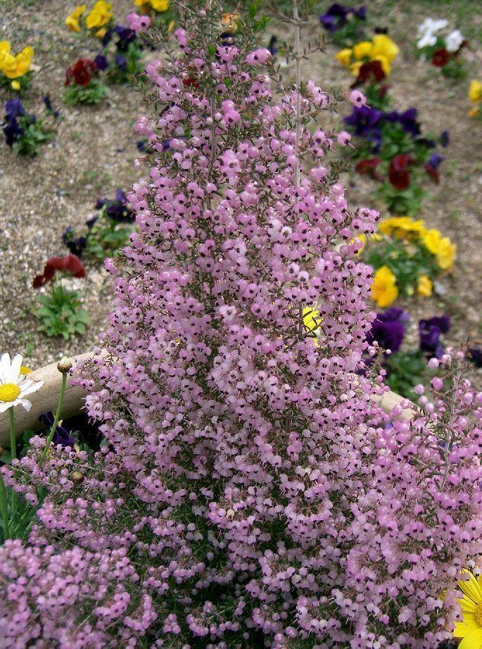 Erica canaliculata Erica canaliculata Wikipedia