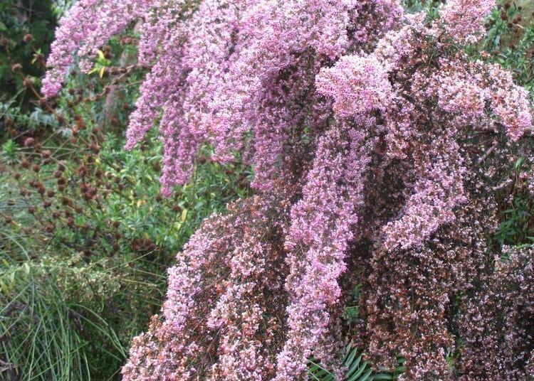 Erica canaliculata Online Plant Guide Erica canaliculata 39Rosea39 Pink Heath Heath