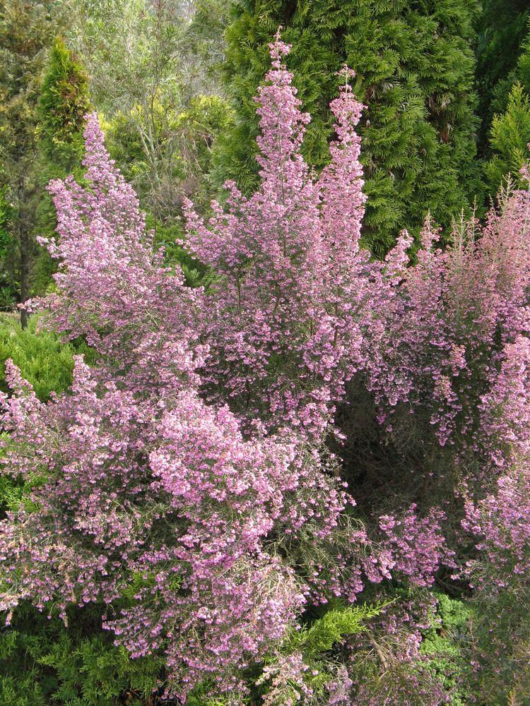 Erica canaliculata FileErica canaliculata3jpg Wikimedia Commons