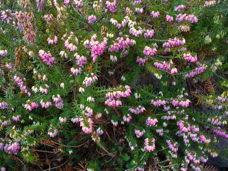 Erica carnea FileErica carnea 002JPG Wikimedia Commons