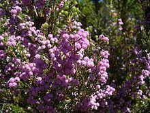 Erica hirtiflora httpsuploadwikimediaorgwikipediacommonsthu