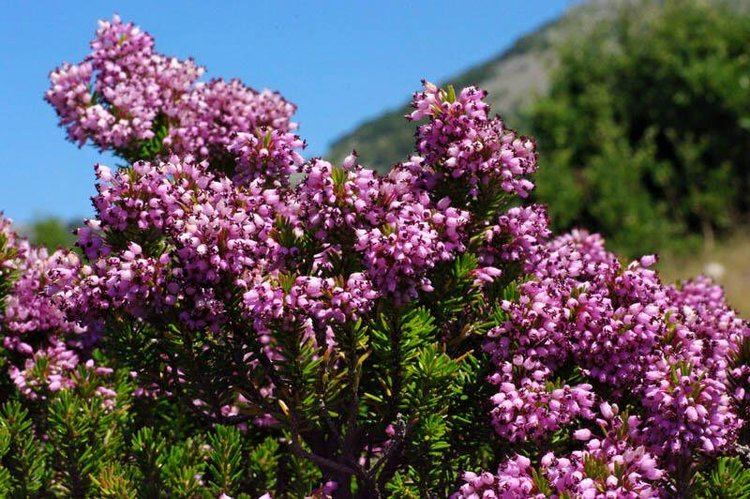 Erica multiflora Snaplant on Twitter quotErica multiflora Mediterranean heather