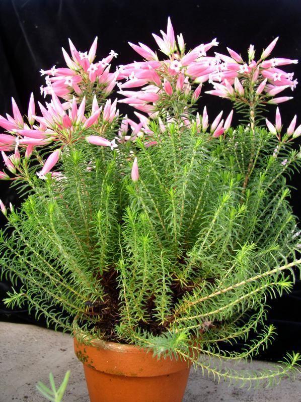 Erica ventricosa Erica ventricosa Jardin Exotique de Roscoff