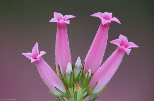 Erica ventricosa erica ventricosa Tumblr