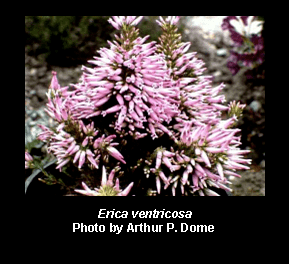 Erica ventricosa Erica ventricosa