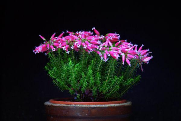 Erica ventricosa Blten einer Erica ventricosa Wachsheide Reinsdorf myheimatde
