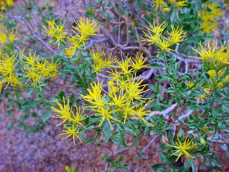 Ericameria cuneata Vascular Plants of the Gila Wilderness Ericameria cuneata var