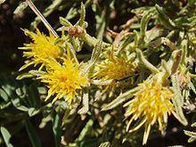 Ericameria discoidea httpsuploadwikimediaorgwikipediacommonsthu