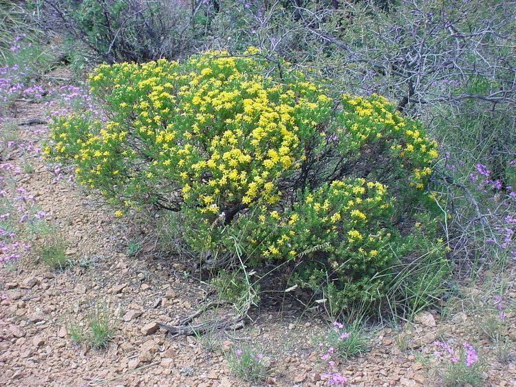 Ericameria laricifolia Vascular Plants of the Gila Wilderness Ericameria laricifolia