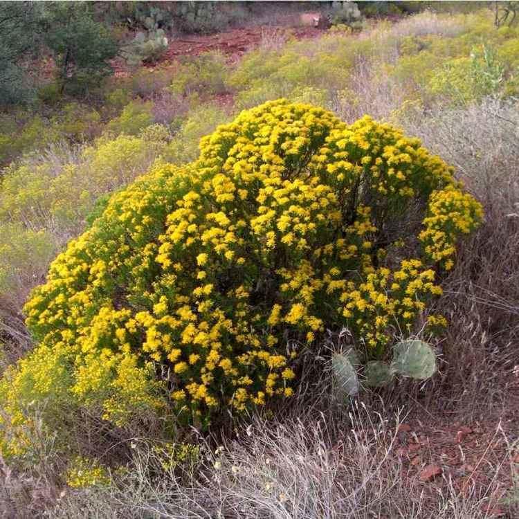 Ericameria laricifolia SEINet Arizona Chapter Ericameria laricifolia