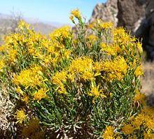 Ericameria laricifolia httpsuploadwikimediaorgwikipediacommonsthu