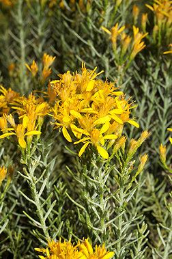 Ericameria laricifolia Ericameria laricifolia Fact Sheet