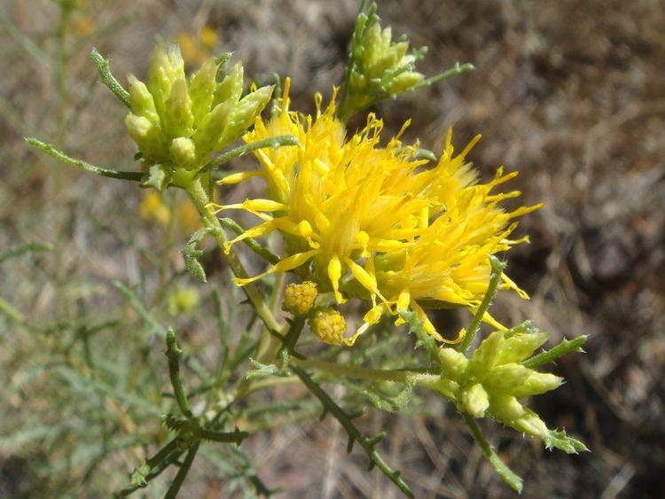 Ericameria laricifolia FileEricamerialaricifolia20070927JPG Wikimedia Commons