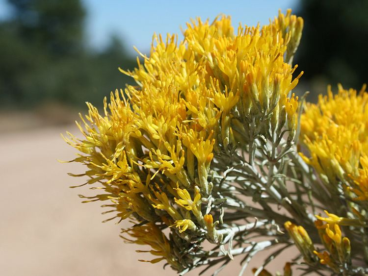 Ericameria nauseosa Vascular Plants of the Gila Wilderness Ericameria nauseosa