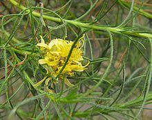 Ericameria pinifolia httpsuploadwikimediaorgwikipediacommonsthu