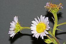Erigeron eximius httpsuploadwikimediaorgwikipediacommonsthu