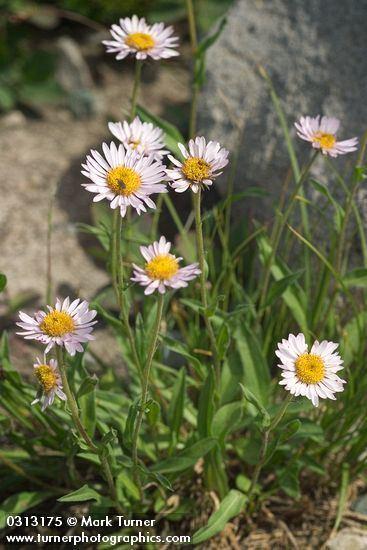 Erigeron peregrinus Erigeron peregrinus wandering daisy Wildflowers of the Pacific