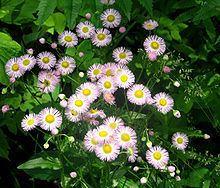 Erigeron philadelphicus httpsuploadwikimediaorgwikipediacommonsthu