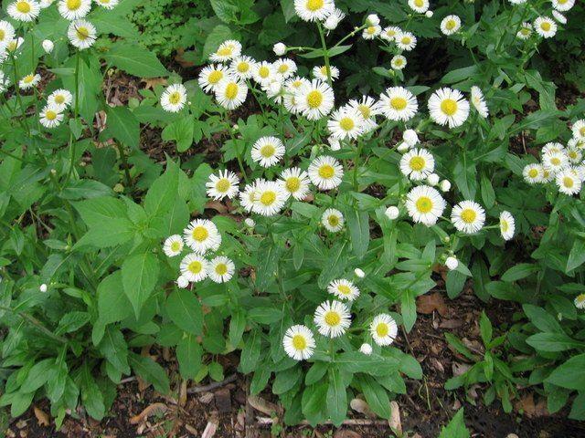 Erigeron philadelphicus Philadelphia Fleabane Erigeron philadelphicus Guide to Kansas Plants
