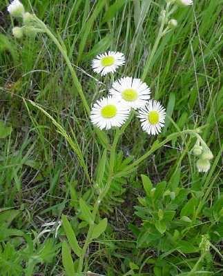 Erigeron philadelphicus Online Virtual Flora of Wisconsin Erigeron philadelphicus