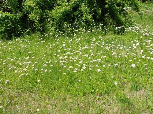 Erigeron pulchellus Erigeron pulchellus UMass Amherst Landscape Nursery amp Urban