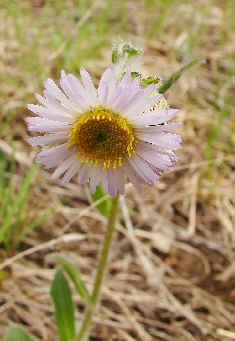 Erigeron pulchellus Erigeron pulchellus Wikipedia