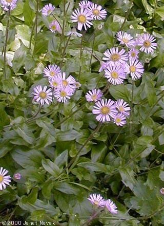 Erigeron pulchellus Erigeron pulchellus