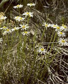 Erigeron rhizomatus httpsuploadwikimediaorgwikipediacommonsthu