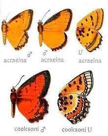 Erikssonia (butterfly) httpsuploadwikimediaorgwikipediacommonsthu