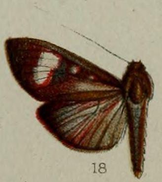 Erilusa leucoplagalis