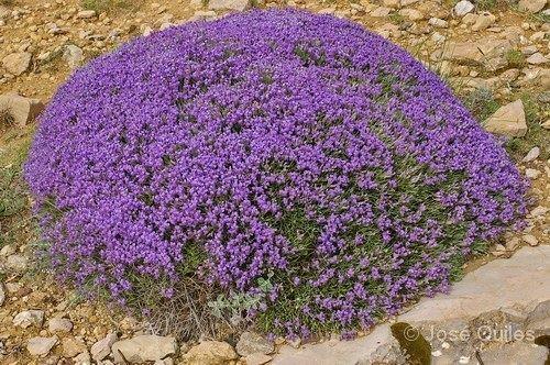 Erinacea anthyllis Erinaceaanthyllis2jpg
