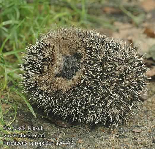Erinaceus Erinaceus europaeus Western European hedgehog